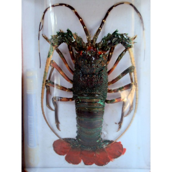 Taxidermy Dried Green Lobster For Wall Hanging Home Decor