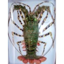 Taxidermy Dried Green Lobster - for Wall decoration - Lobster from Vietnam Sea