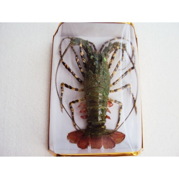 Taxidermy Dried Green Lobster - for Wall decoration - Lobster from Vietnam Sea - Vietnam ...